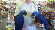 Синий ара попугай пара 1000€